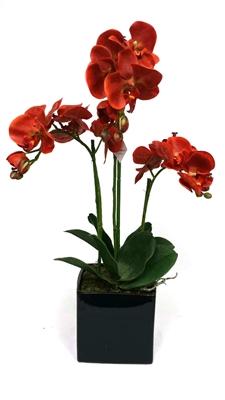 Orange Phalaenopsis Orchid Black Ceramic Pot